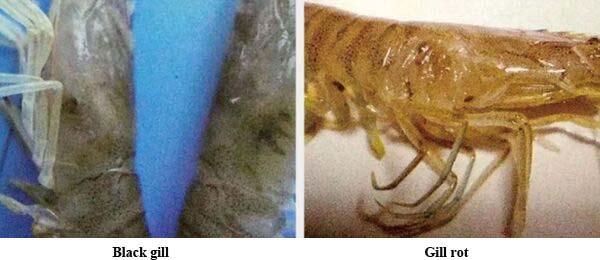 diseases of Litopenaeus vannamei4