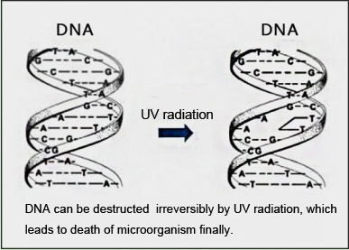 Medium pressure UV disinfection system for Litopenaeus vannamei Working principle