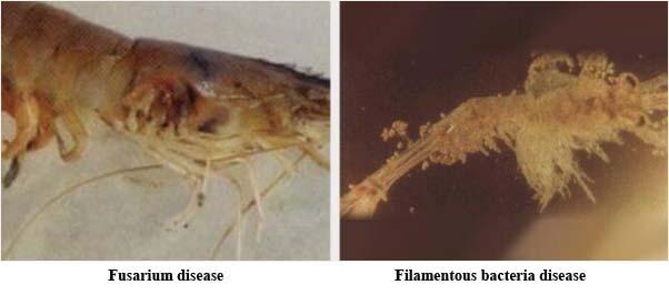 diseases of Litopenaeus vannamei2