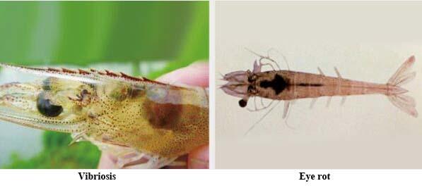 diseases of Litopenaeus vannamei3
